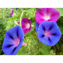 Morning Glory Flower Seeds