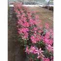 Pink Poinsettia Flower, For Decorative Home & Garden