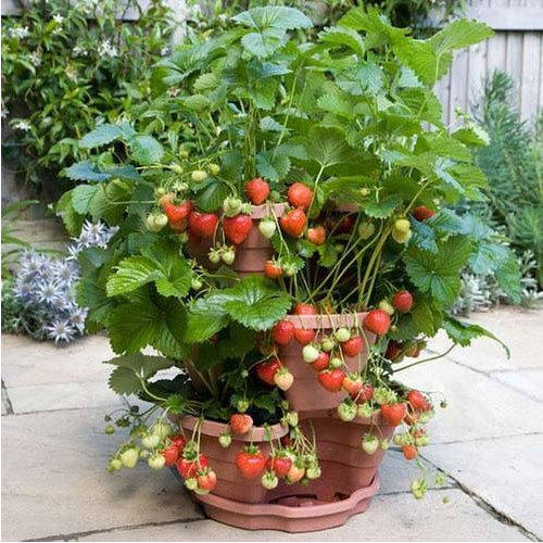Growing Strawberries In A Planter: Ornamental Plants, ऑर्नामेंटल प्लांट At Rs 60 /plant