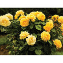 Hybrid Yellow Rose Plant