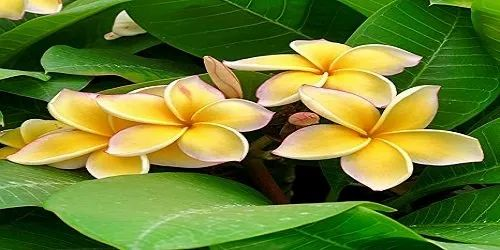 Plumeria Frangipani For Garden Packaging Type Bag Rs 250 Piece Id 22264497762