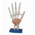 Hand Joint With Ligaments Model