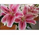 Oriented Lilium For Decoration