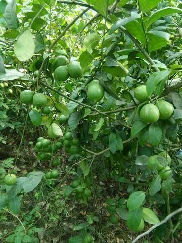Lemon Tree Plantation