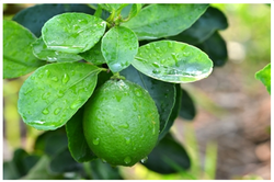Fresh Lemon (Citrus Aurantifolia Swingle)