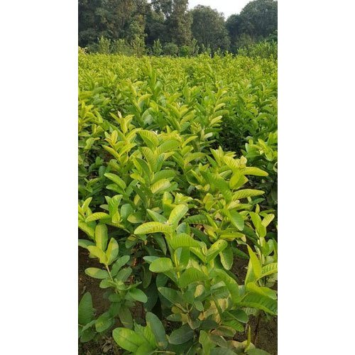 c62a7844f Well Watered G Vilas Guava Plants, Rs 60 /plant, Southern Nurserys ...