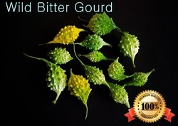 Indian 'wild' Bitter Gourd ( Momordica Charantia)