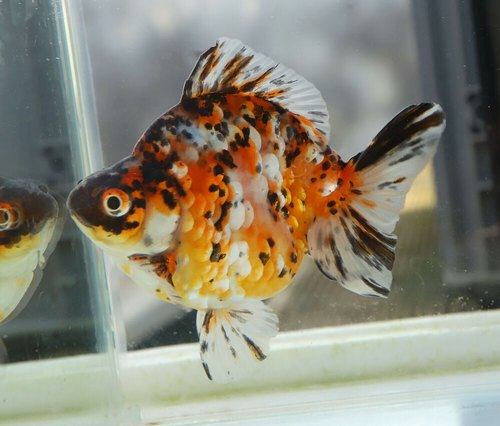 Calico Ryukin Goldfish View Specifications Details Of