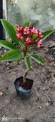 Thai Plumeria
