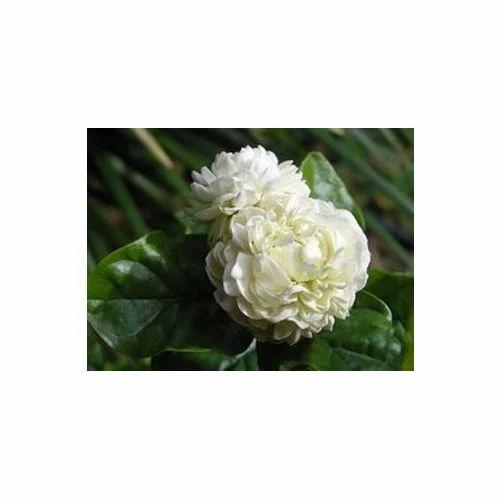 freeze dried mogra flower freeze dried flowers sachin gidc surat
