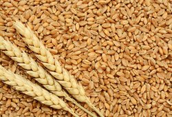 goldish brown 21:89 wheat grains, 25 Kg 50kg 100kg