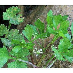Organic Celery Seed Oil
