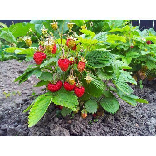 Strawberry Plant At Rs 5 Piece