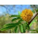 Acacia Farnesiana, Pack Size: 1 Kg