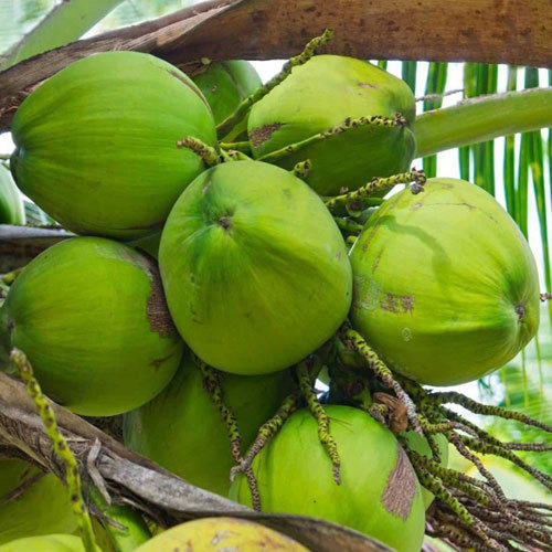 Fresh Tender Coconut - View Specifications & Details of Tender