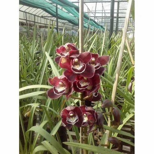 Maroon Cymbidium Orchid Plant