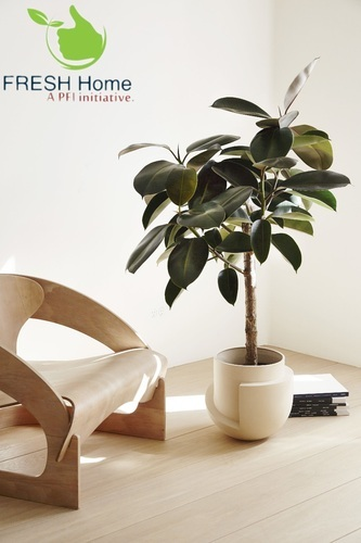Rubber Plant For Home Decor