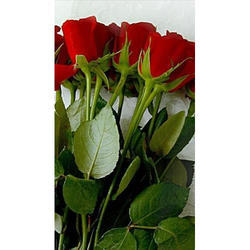 Rose Flower, Pack Size: 25 Piece