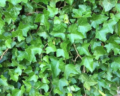 Hedera Helix Extract At Rs 1600 /kilogram
