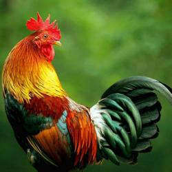 Giriraja hens in bangalore dating