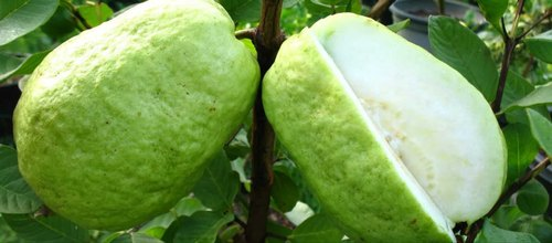 Indian Guava Fruit - View Specifications & Details of Guava