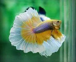Natural Betta Fish, Size: Adult