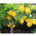 Seedless Lemon Tree