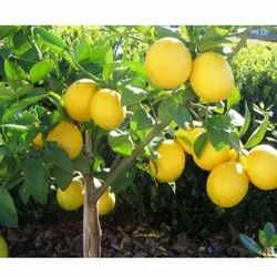 Seedless Lemon Plant