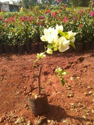Bougainvilleas Garden Plants