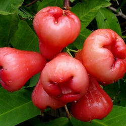 Water Apple Fruit Plant