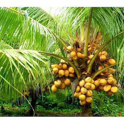 COCONUT TREE DWARF