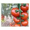 Red Color Nancy Tomato Seeds, Packaging Size: 10 Gm