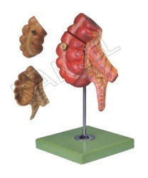 Appendix and Caecum Digestive System Model