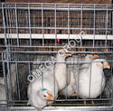 Broiler Breeder Grower Cages