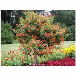 Horticultural Impex Lantana Camara, Pack Size: 1 kg