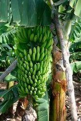 Pan India A Grade Fresh Green Banana, Crate, 10 Kg