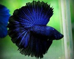 Blue Betta Male Fish