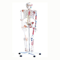 Life Size Human Skeleton Model (180 cm) with Muscles