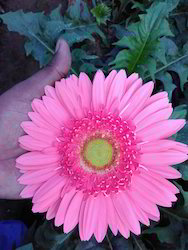 Tissue Culture Gerbera Plants