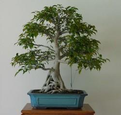 Well Watered Green Bonsai Plant