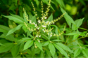 Nishindha Herbal Extract (Water Soluble)