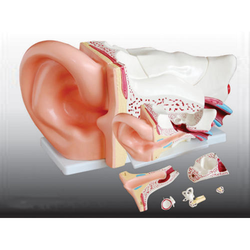 Giant Size Ear Model New Style/ Ear model
