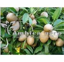 SAPOTA FRUITS PLANTS