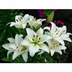 Fresh Cut Flower White Lily Flower