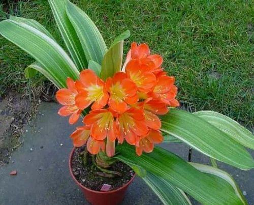 Clivia Miniata Flower Annual Flowers Garden World Bengaluru ID