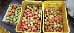 Maharashtra Quality Tomato