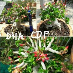 Adenium Seeds - Wholesale Price & Mandi Rate for Adenium Seeds