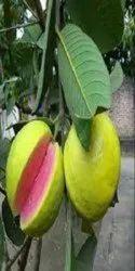Red Guava Tissue Culture Plants