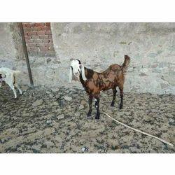 Pet Goat in Ajmer, पेट बकरी, अजमेर - Latest Price