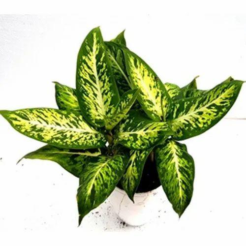 Dieffenbachia Sparkle Indoor Plant